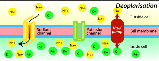 k channel 99 sodium